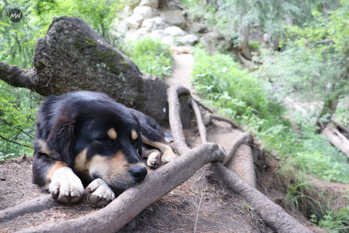 Dogs are your best friends in trekking to Kheerganga, note.