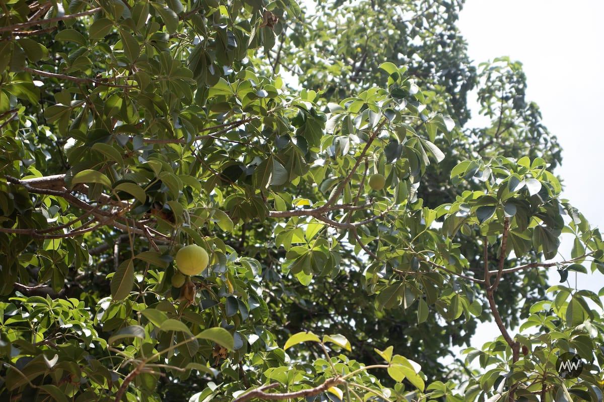 The Legendary Stories of Wish Bearing Tree Parijaat 2