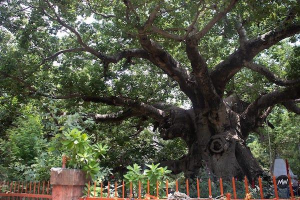 Parijaat-tree-front-view